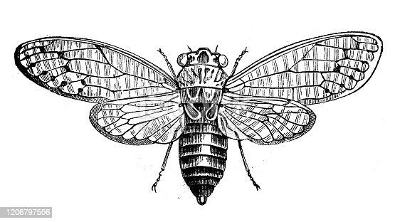 Antique animal illustration: Cicada