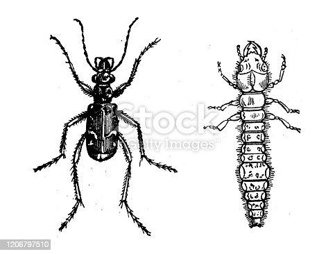 Antique animal illustration: Cicindela, tiger beetle