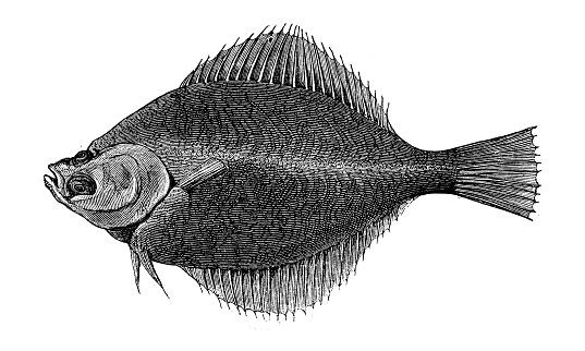 Antique animal illustration:  dab (Limanda limanda)