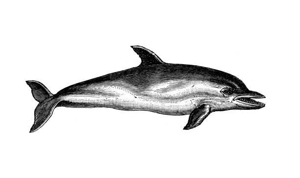 Antique animal illustration: Dolphin vector art illustration