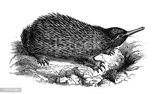 istock Antique animal illustration: Echidna, spiny anteater 1207013947