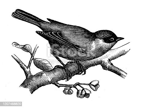istock Antique animal illustration: European penduline tit (Remiz pendulinus) 1207468820