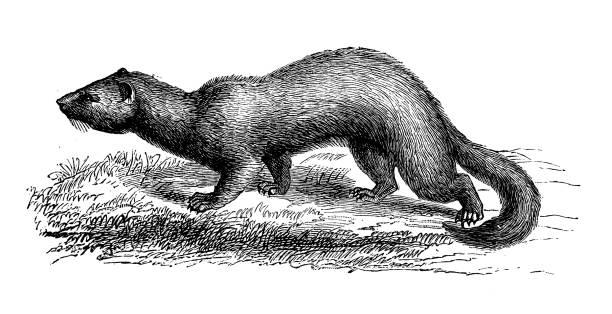 Antique animal illustration: ferret (Mustela putorius furo) Antique animal illustration: ferret (Mustela putorius furo) ermine stock illustrations