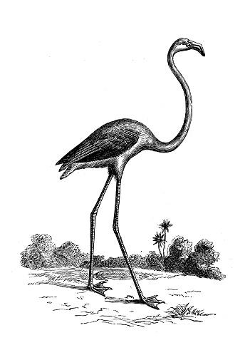 Antique animal illustration: Flamingo