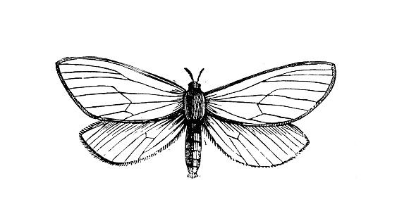 Antique animal illustration: ghost moth, ghost swift, Hepialus humuli
