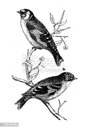 Antique animal illustration: goldfinch (Carduelis carduelis)