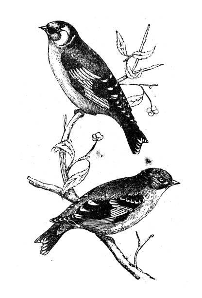 Antique animal illustration: goldfinch (Carduelis carduelis) Antique animal illustration: goldfinch (Carduelis carduelis) american goldfinch stock illustrations