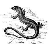 istock Antique animal illustration: Green Lizard 1207226746