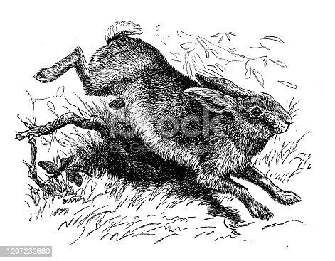 Antique animal illustration: Hare