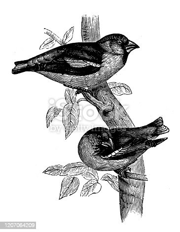 Antique animal illustration:  hawfinch (Coccothraustes coccothraustes)