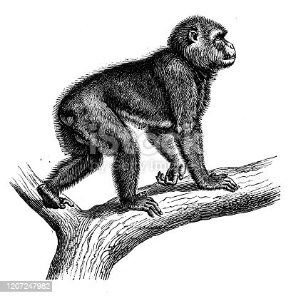 Antique animal illustration: Barbary macaque (Macaca sylvanus), Barbary ape, magot