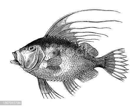 Antique animal illustration: John Dory (Zeus faber)