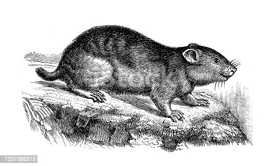 istock Antique animal illustration: Lemming 1207086315