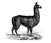 Antique animal illustration: Llama