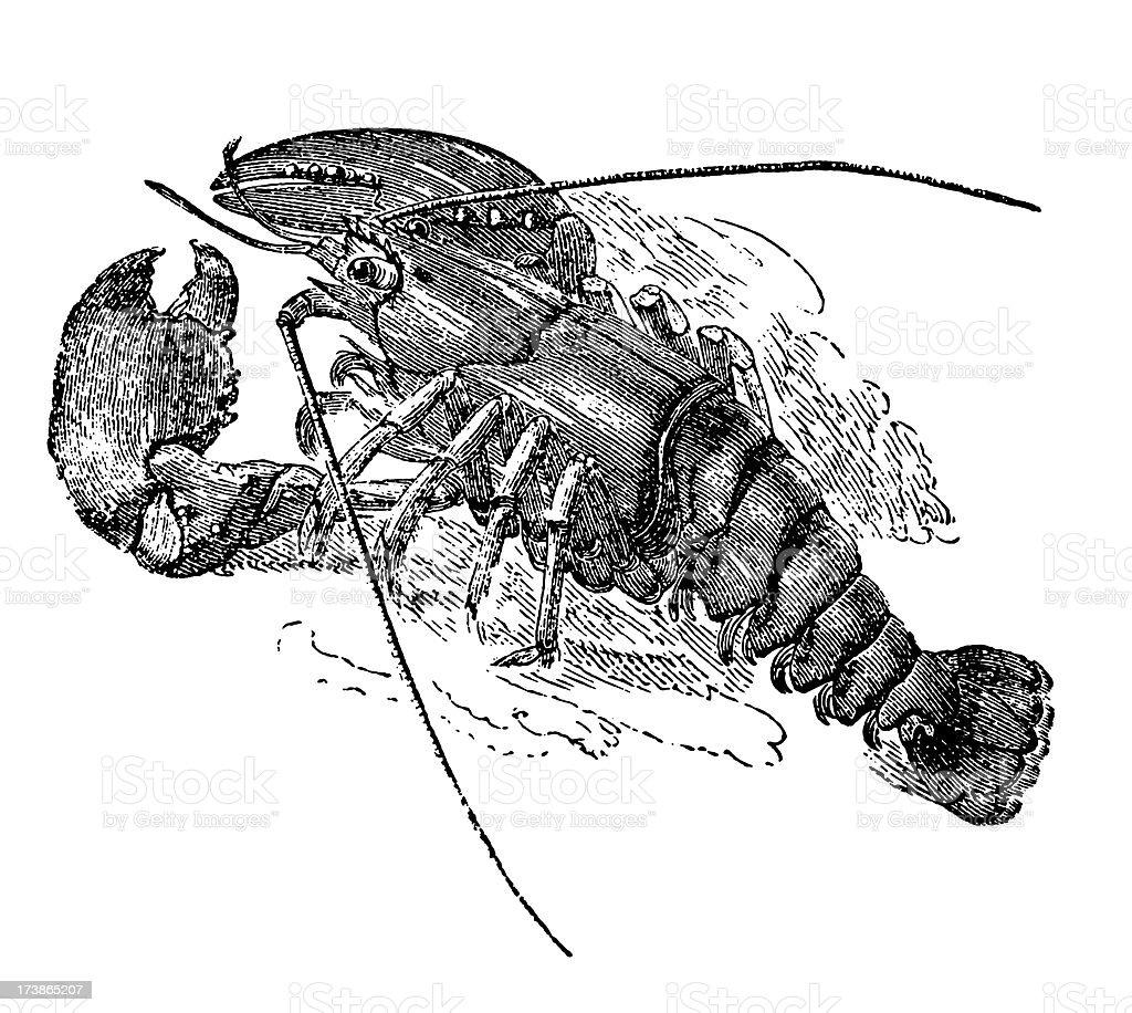 Alte Tierische Illustrationhummer Stock Vektor Art Und Mehr Bilder