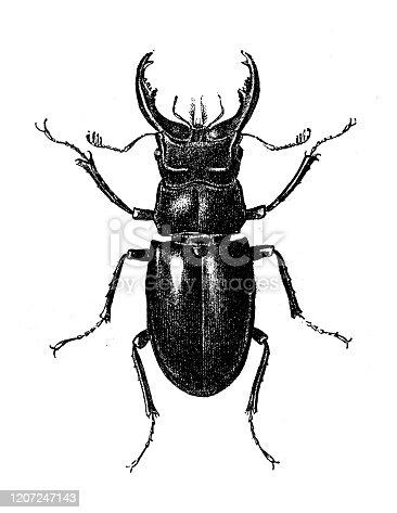 Antique animal illustration: Lucanus cervus