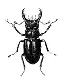 The food pest red flour beetle Tribolium castaneum in wheat flour
