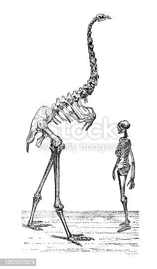 istock Antique animal illustration: Moa (Dinornithiformes) skeleton comparison 1207012374