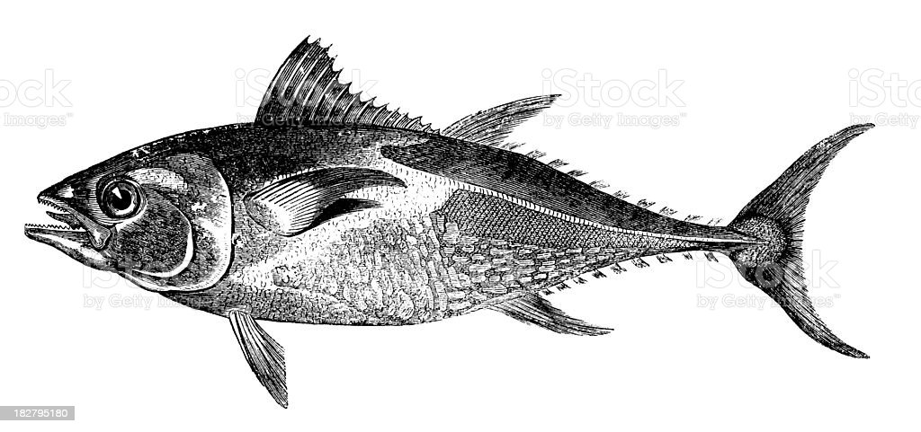 Antique animal illustration of tuna against white background royalty-free stock vector art