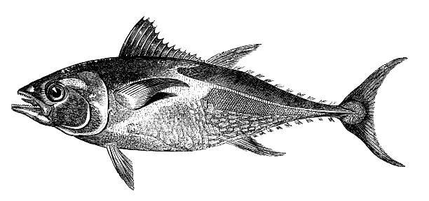 ilustraciones, imágenes clip art, dibujos animados e iconos de stock de atún/antigüedades de ilustraciones de animales - comida española