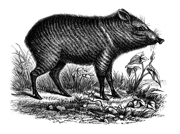Antique animal illustration: Peccary Antique animal illustration: Peccary javelina stock illustrations