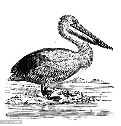 istock Antique animal illustration: Pelican 1207307852