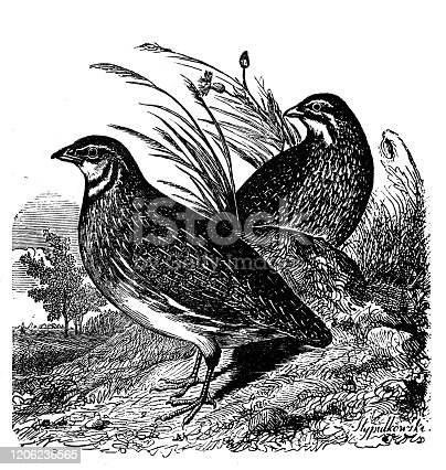 Antique animal illustration: Quail