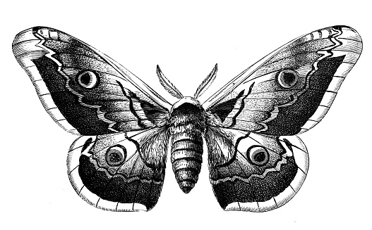 Antique animal illustration: Saturnia pyri, giant peacock moth, great peacock moth, giant emperor moth