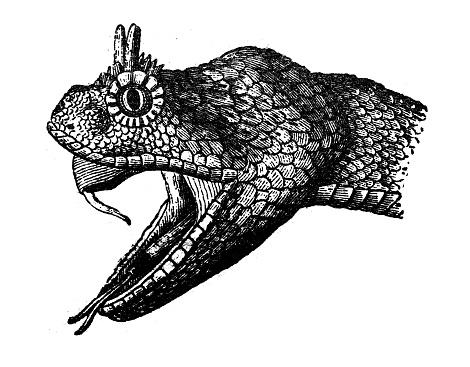 Antique animal illustration: sidewinder (Crotalus cerastes), horned rattlesnake