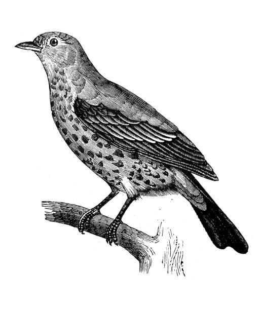 ilustrações de stock, clip art, desenhos animados e ícones de antique animal illustration: song thrush (turdus philomelos) - song thrush