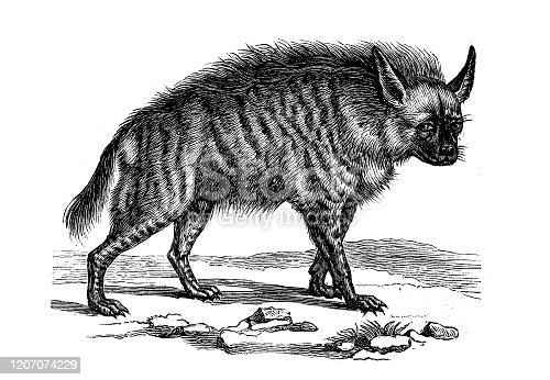 istock Antique animal illustration: striped hyena (Hyaena hyaena) 1207074229