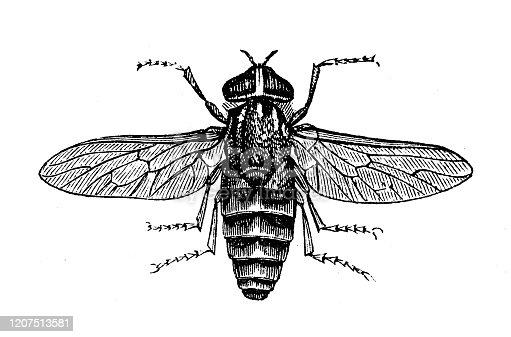 Antique animal illustration: Tabanus bovinus, pale giant horse-fly
