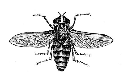 Antique animal illustration: Tabanus bovinus, pale giant horse-fly
