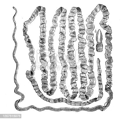Antique animal illustration: Taenia solium, pork tapeworm