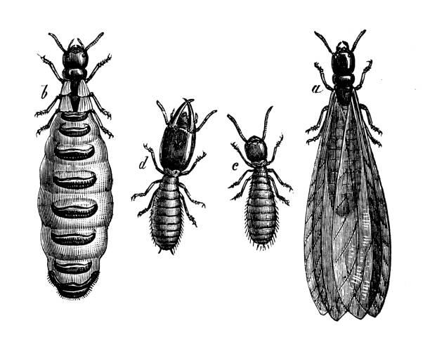 stockillustraties, clipart, cartoons en iconen met antieke dierlijke illustratie: termieten (isoptera) - termietenheuvel