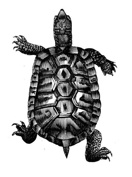 Antique animal illustration: Turtle vector art illustration