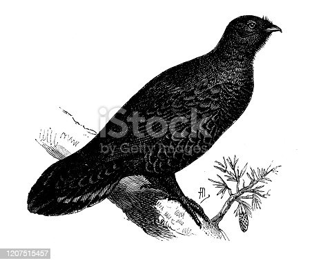 Antique animal illustration: western capercaillie (Tetrao urogallus)