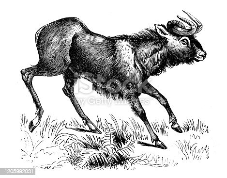 istock Antique animal illustration: wildebeest 1205992031