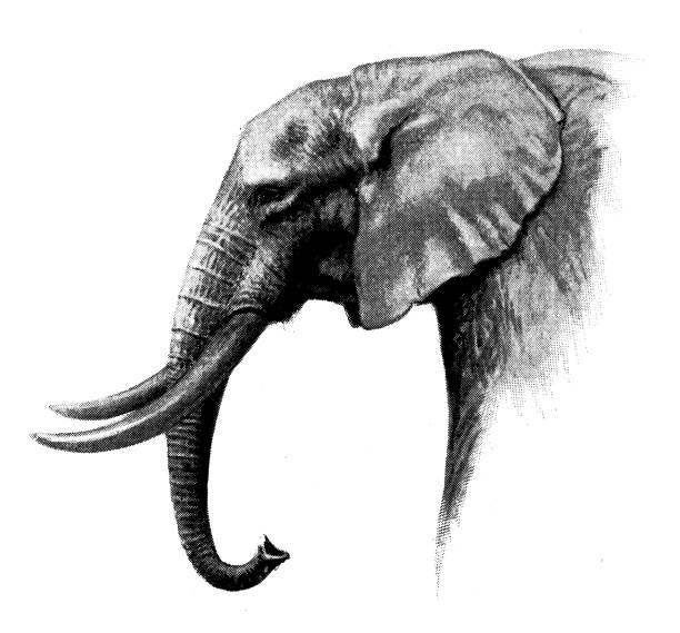 Black And White Elephant Illustrations, Royalty-Free ...