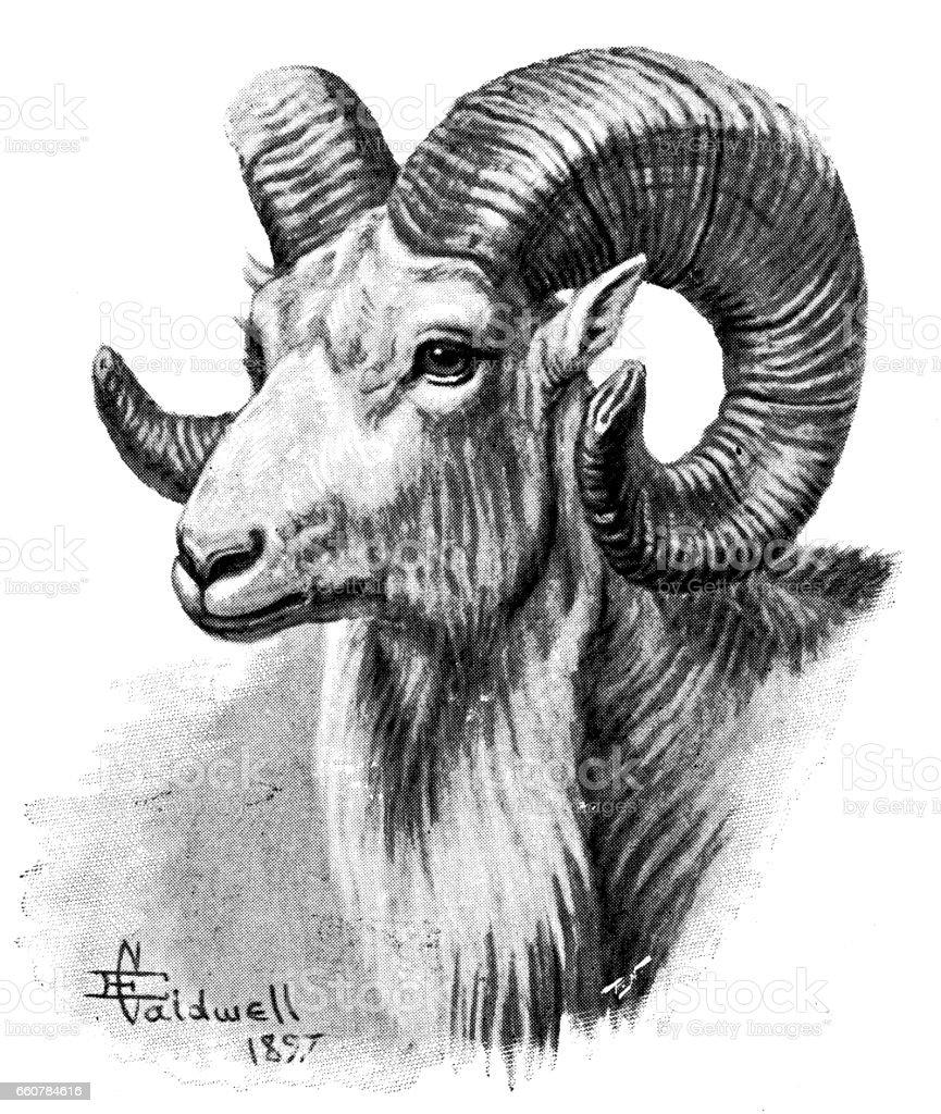 Antique animals illustration: argali mountain sheep vector art illustration