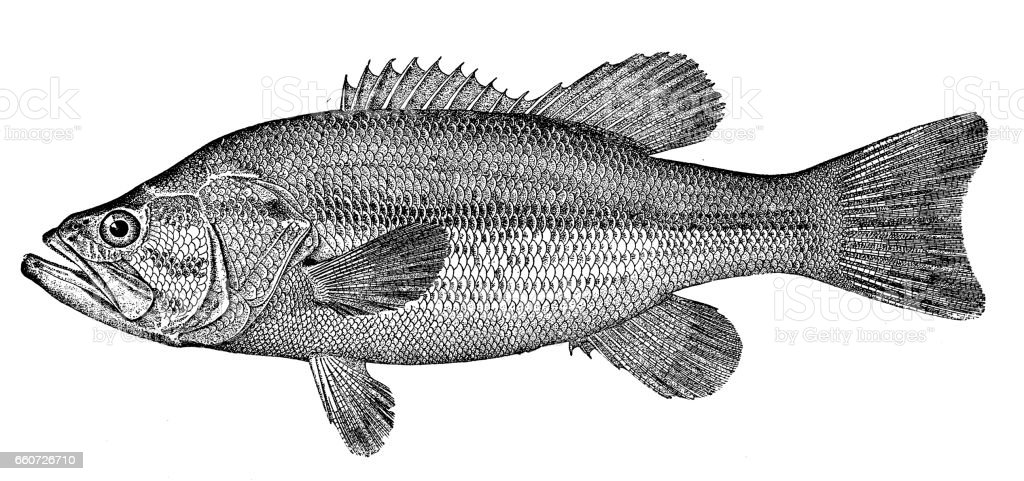 Antique animals illustration: Black bass vector art illustration