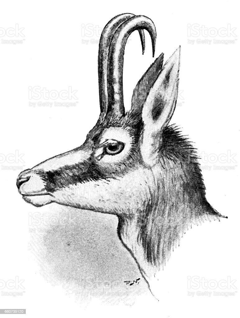 Antique Animals Illustration: Chamois Vector Art Illustration