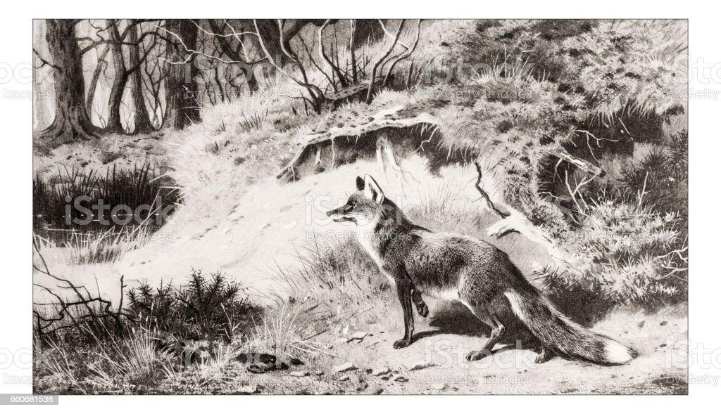 Antique animals illustration: Fox vector art illustration