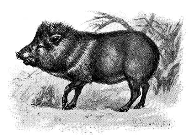Antique animals illustration: Peccary Antique animals illustration: Peccary javelina stock illustrations