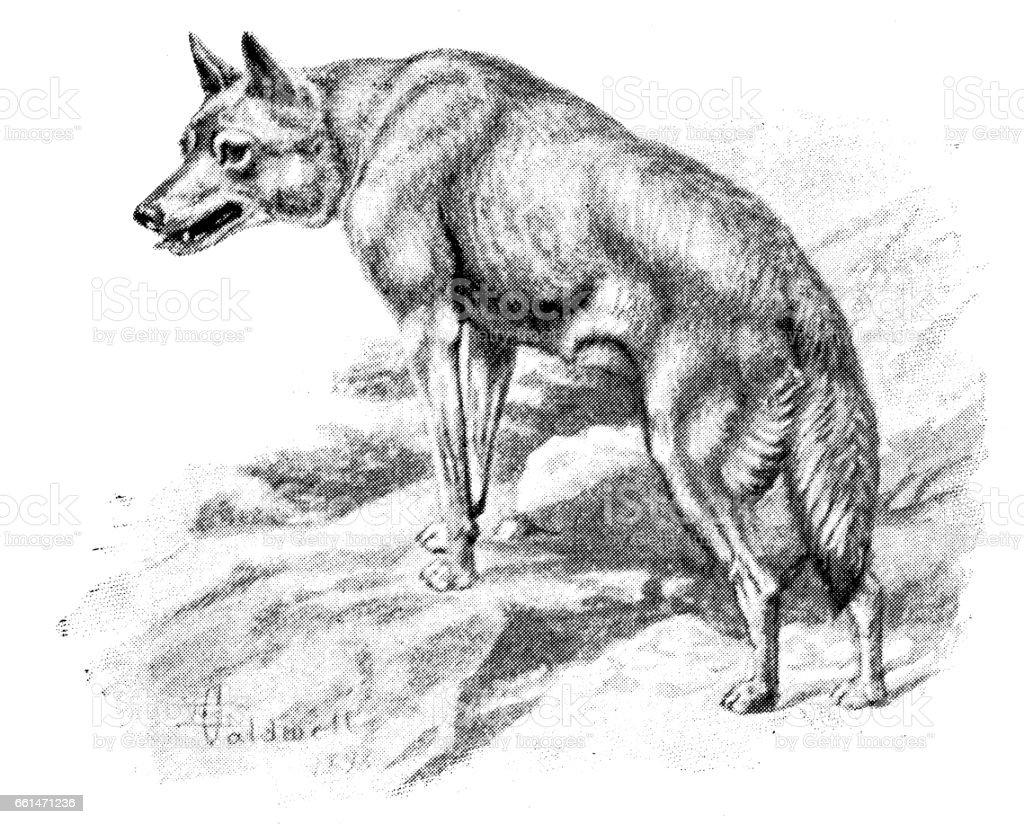 Ilustración de Antigua Ilustración De Animales Lobo Ruso y más banco ...