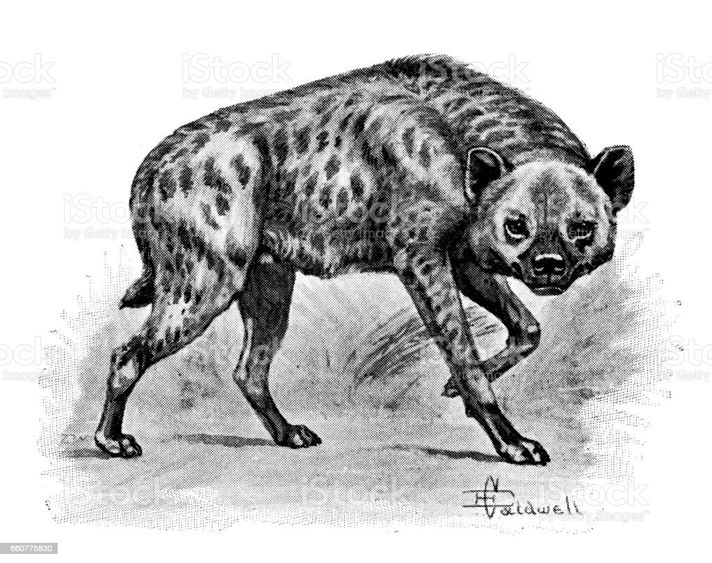 Antique Animals Illustration Spotted Hyena Stock Vector Art & More ...