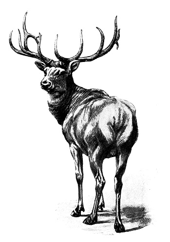 Antique animals illustration: Wapiti deer