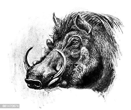 Antique animals illustration: Wart hog