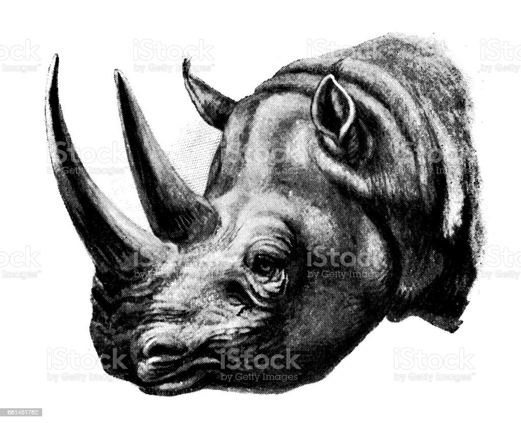 Antique animals illustration: White Rhinoceros vector art illustration