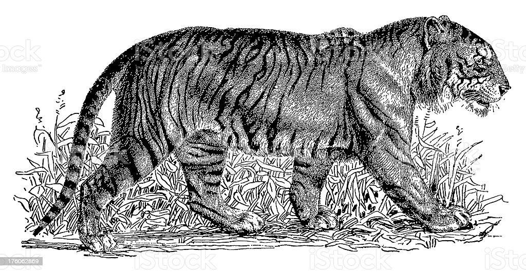 Antique black ink illustration of a tiger royalty-free stock vector art